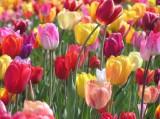 Tulpen, Astrologie, Zeitqualität, Newsletter, Yshouk Ursula Kirsch