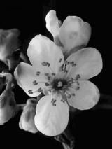 Kirschblüte,Lenormand, Kartenlegen