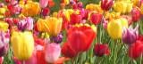 Tulpen, Astrologie, Zeitqualität, Yshouk Ursula Kirsch