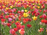 Tulpen, Astrologie, Zeitqualität, Kartenlegen, Newsletter, Yshouk Ursula Kirsch
