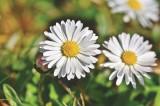 Gänseblümchen, Frühblüher, Astrologie, Zeitqualität, Kartenlegen, Newsletter, Yshouk Ursula Kirsch