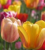 Tulpen, Astrologie, Newsletter, Kartenlegen, Yshouk Ursula Kirsch
