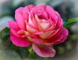 Rose, Symbol für Liebe